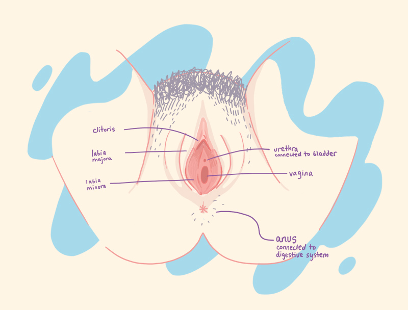 diagram of female genitalia